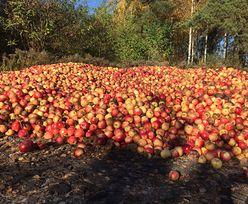 Arabia Saudyjska wstrzymała dostawę polskich jabłek. Pod pretekstem badań