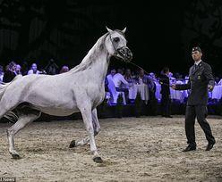 Pride of Poland najlepsze od 4 lat. Sprzedano 14 koni