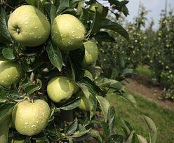 GUS. Zbiór owoców w sadach o ok. 25 proc. niższy niż w 2018 r. Winne przymrozki