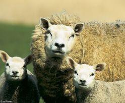 Pieniądze z Owca Plus trafiły do hodowców. Krowa może pozazdrościć