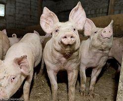 Pomór świń w Chinach mniejszy niż prognozowano. Schabowy błyskawicznie tanieje