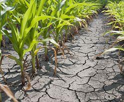 Susza w Polsce. 175 tys. gospodarstw dotkniętych suszą, będzie program pomocowy