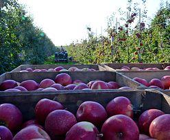 Interwencyjny skup jabłek. Spółka Eskimos i minister rolnictwa Ardanowski podejrzani o oszustwa