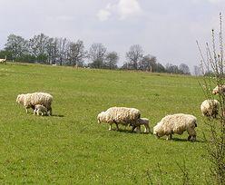 Ministerstwo rolnictwa: zamiast świń, hodujmy owce