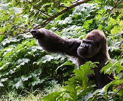 Ochrona goryli w Kongo. Utworzyli park narodowy