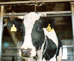 Hodowcy boją się o swoje krowy. Komisja Europejska ma zastrzeżenia