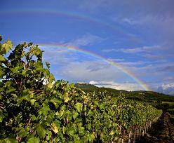 Uprawa winorośli. Europę czeka klimatyczny armagedon. Polska nową ziemią obiecaną