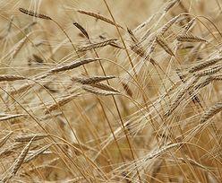 Jak zwalczyć chwasty na plantacjach, na których jesienią nie zastosowano herbicydów?