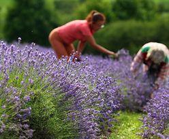 To ma być nowy hit eksportowy. Polskie zioła mogą podbić świat