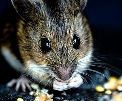 Sposoby na myszy i szczury