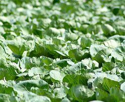 Ochrona warzyw przed chwastami