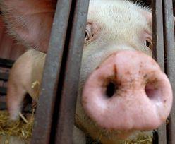ASF w Polsce. Rusza infolinia dla rolników