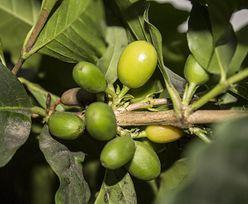 Zbiory kawy w Brazylii ponownie mniejsze niż rok wcześniej. Ceny mogą wzrosnąć