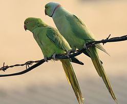 Polskie rolnictwo zagrożone przez... inwazję papug