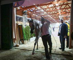 Tak źle nie było od lat. Tylko 410 tys. euro za konie na aukcji Pride of Poland w Janowie Podlaskim
