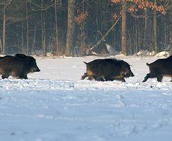 Afrykański pomór świń dotarł do Polski