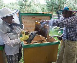 Polskie pszczoły harują na gospodarkę. Są w światowej czołówce