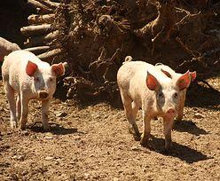ASF w Polsce. Będzie wsparcie z UE dla polskich hodowców