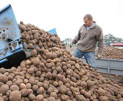 Ceny ziemniaków pójdą w górę. Zbiory będą słabe