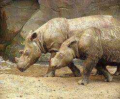 Kłusownictwo na świecie. Mężczyzna skazany na 77 lat więzienia za zabicie nosorożców