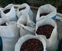 Szykują się bardzo dobre zbiory kawy. Polska najwięcej importuje z Niemiec