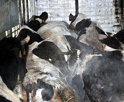 Policja wykryła skandal w ubojni. Sprzedawali mięso z padliny