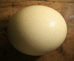 Jajo strusia zaskoczy twoich gości, a jajecznica wystarczy dla 10 osób