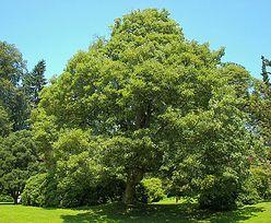 Sadzenie dużego drzewa