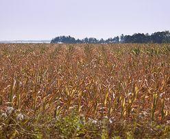 Susza zniszczyła uprawy 230 tys. gospodarstw. Straty oceniane są na 1,6 mld zł