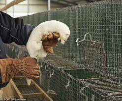 Fermy zwierząt futerkowych w Polsce zostają. Prezes PiS nie ma nic do gadania