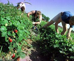 Nie ma chętnych do pracy. Plantatorzy rozkładają ręce i liczą, że owoce nie zgniją na polu