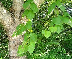 Sadzenie brzozy
