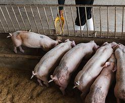 Trudny rok dla polskich rolników. Coraz gorsza sytuacja hodowców świń