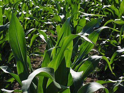 Kukurydza wymaga dokarmiania