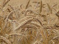 Czy mieszańce wyprą tradycyjne odmiany pszenicy?