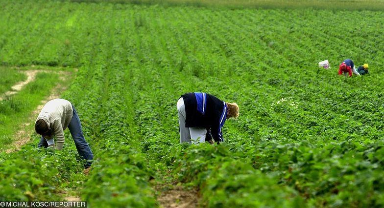 Francuscy plantatorzy splajtowaliby bez Polaków
