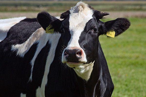 Wołowina z Polski ma szansę poza Unią