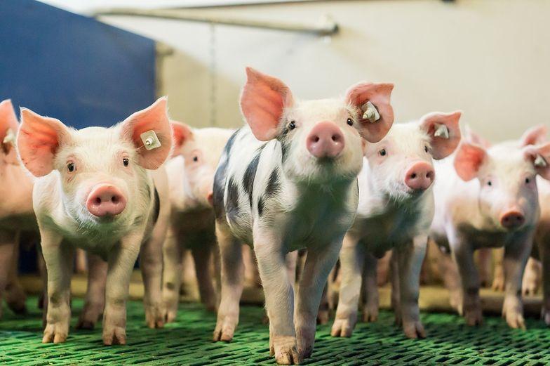Wirus afrykańskiego pomoru świń przestał atakować. Trzoda już nie choruje
