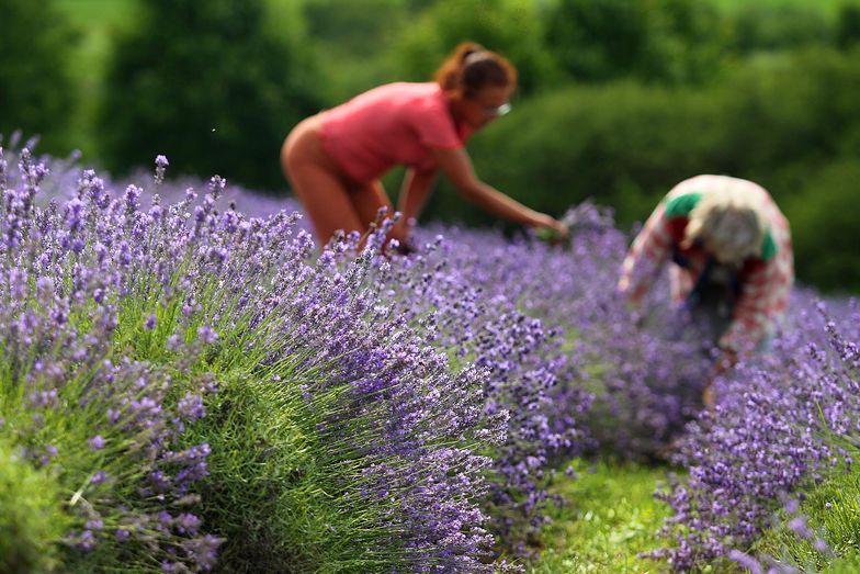Rolnicy mają zainwestować w zielarstwo - tego chce Ministerstwo Rolnictwa