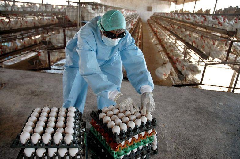 Ptasia grypa nie ustępuje. Ponad 100 przypadków w Polsce