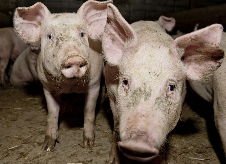 13. w kraju ognisko ASF u świń wykryto w Lubelskiem