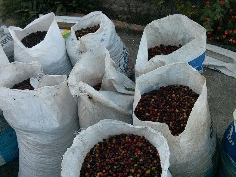 Zbiory kawy w tym sezonie będą wyższe o 7 proc. niż rok temu.