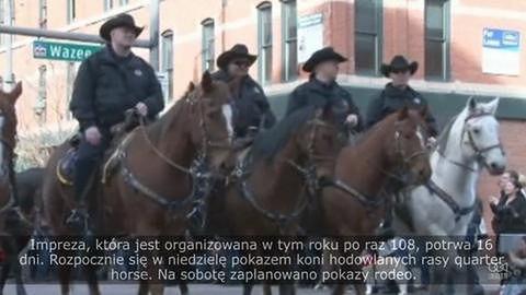 Parada bydła w centrum Denver