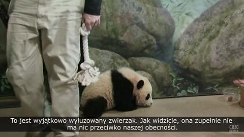 Nowo narodzona panda została po raz pierwszy zważona
