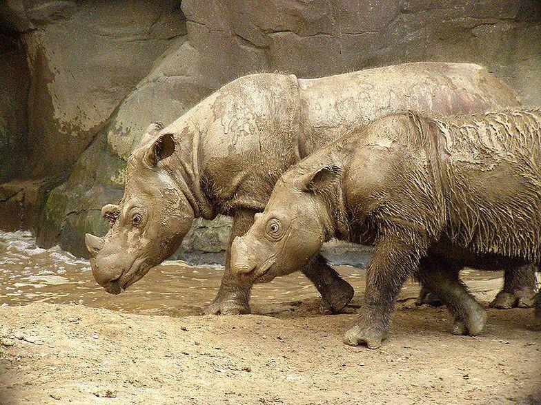 Klusownictwo w Kenii. Władze będą chipować nosorożce