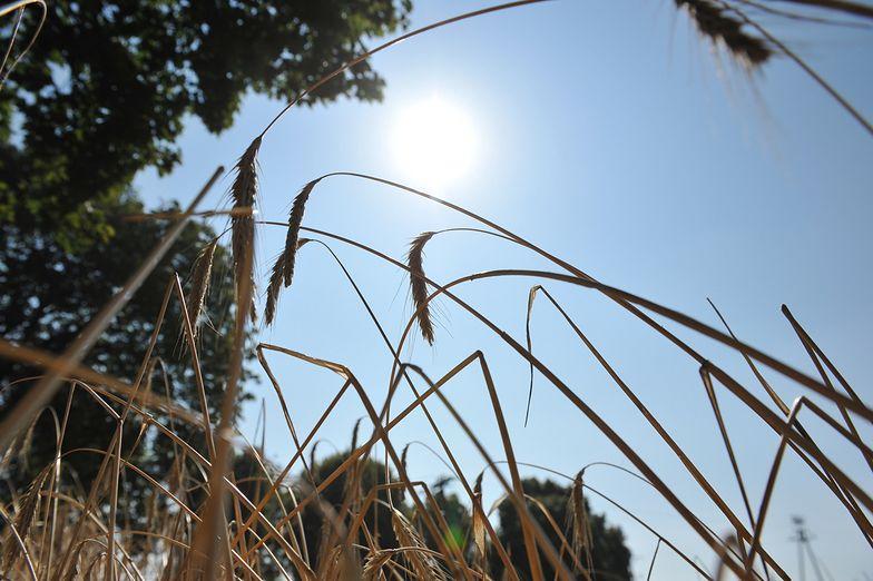 Susza w Polsce. Rolniczy związkowcy apelują o wprowadzenie stanu klęski