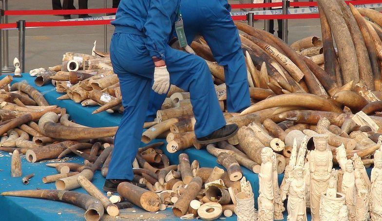 Przemyt kości słoniowej w Chinach. Zniszczono 6 ton