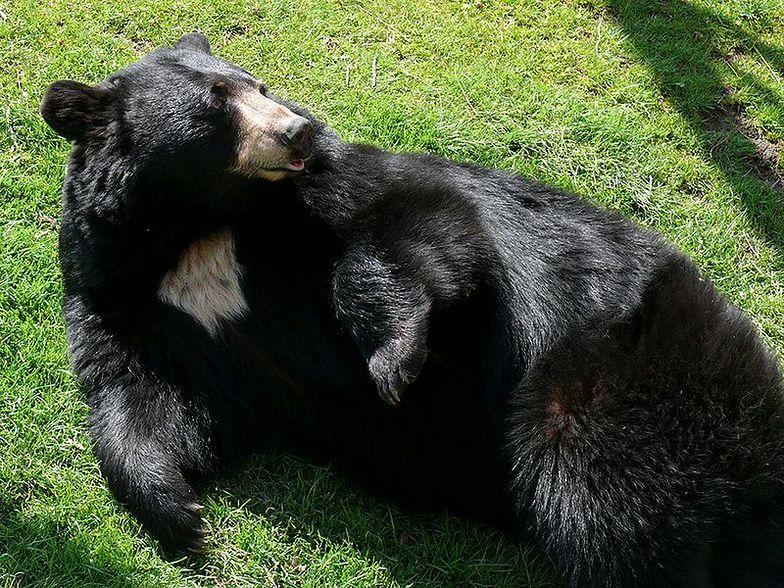 Beskidzkie niedźwiedzie najprawdopodobniej w ogóle nie spały tej zimy