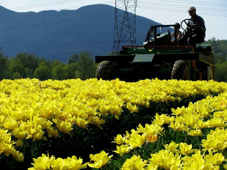 Wojna handlowa Rosji z Zachodem. Po żywności władze zabrały się za niszczenie kwiatów