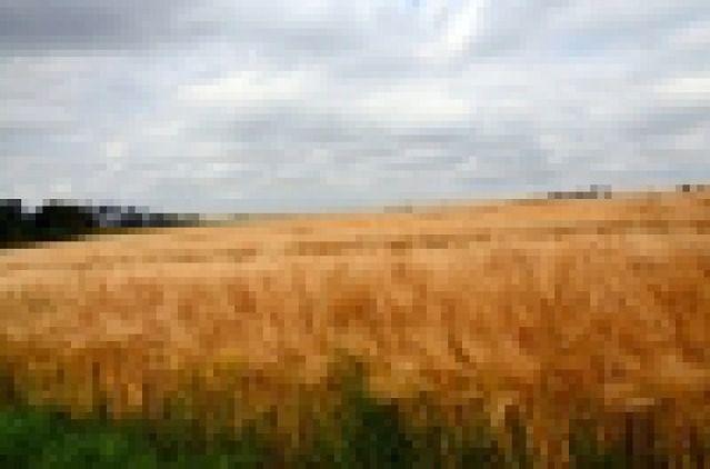 Rozpoczęło się zbieranie kukurydzy na ziarno
